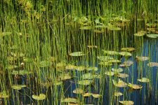 Photo of lilypads by Dan Niel